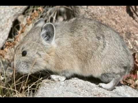 James Yule Photography - Slideshow - 001 - American Pika