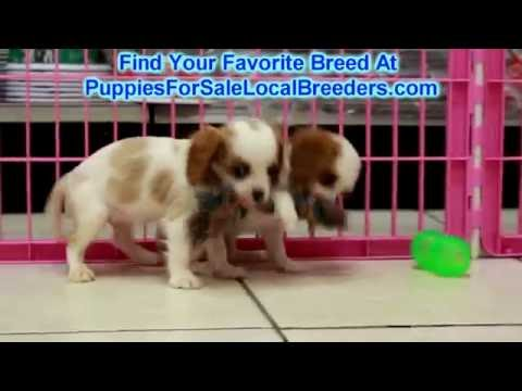 Cavalier King Charles Spaniel, Puppies For Sale, In Mobile, County, Alabama, AL, 19Breeders, Decatur