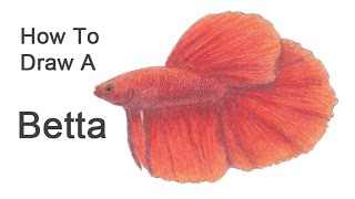 How to Draw a Betta