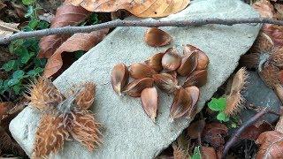 Буковые орехи