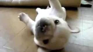 White French Bulldog Puppy Cant Get Up!