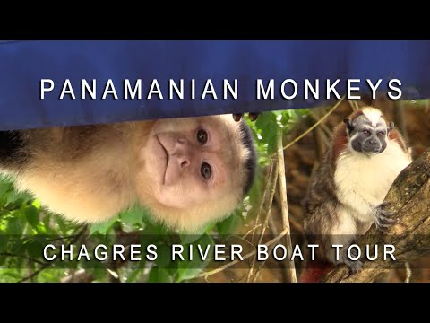 Panama - Gamboa Resort Monkeys Chagres River Boat Tour