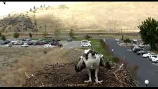 Nest Cam: Osprey Fledge Wont Let Other One Land - Sept 9, 2014