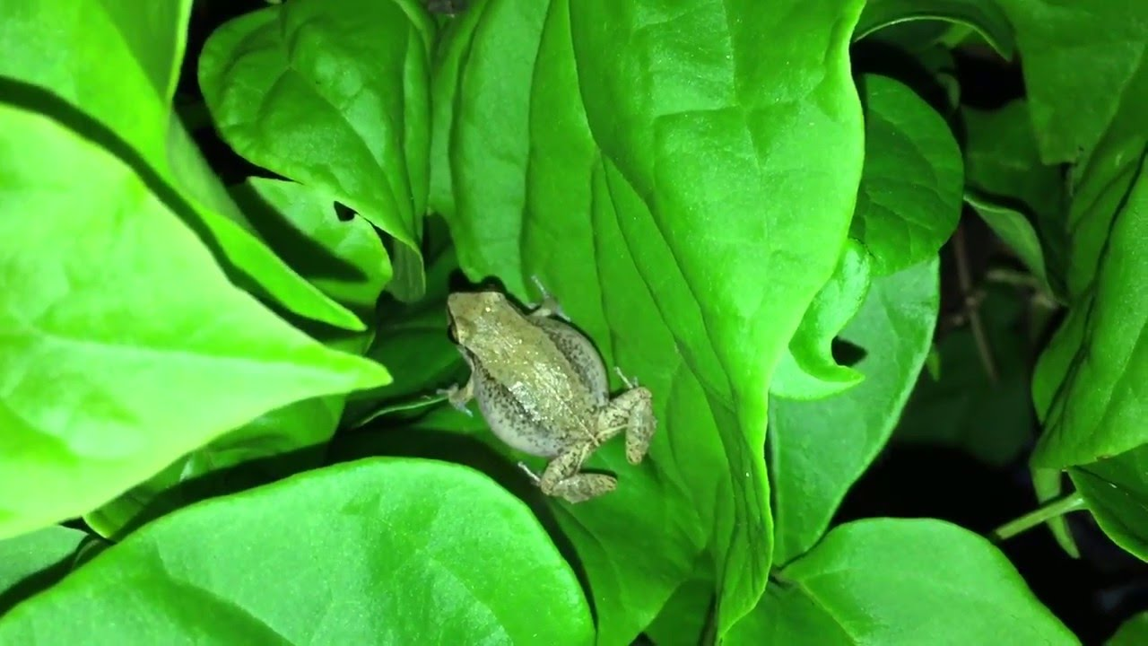 Jamaica Tree Frog Bird Chirping Sound - Jamaican Animals
