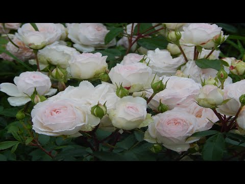 Вопрос: Какие сорта гардении цветут с розовым отливом?