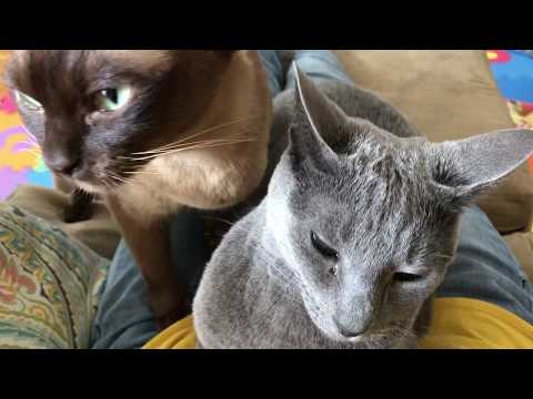 Russian Blue and Burmese cats kisses