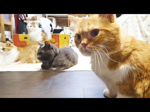 【マンチカンズ】猫がブラッシングシャーッ!~ Brushing a cat with hissing ~