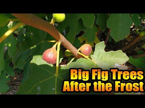 Big Fig Trees After the Frost