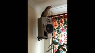 Mrs chuckles UK pet laughing kookaburra