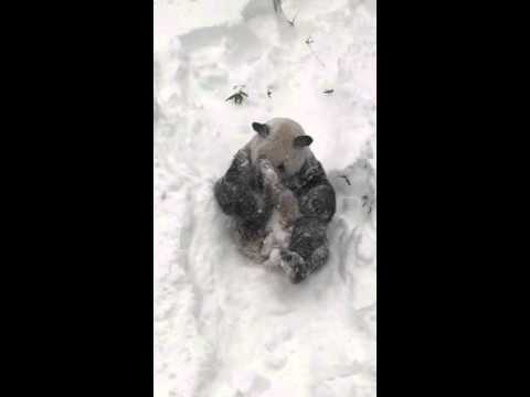 Adorable Panda Meets Snow For The 1st Time