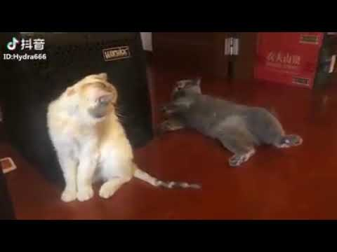 Cat Series: A cat with great acting skill