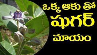 Leaves For Diabetes || ఒక్క అకుతో 7 రోజుల్లో షుగర్ మాయం || #HealthTips
