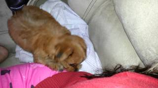 puppy chewing on hair