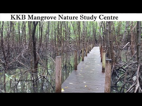 Tour of the largest mangrove swamp in Thailand. KKB Mangrove Nature Center.