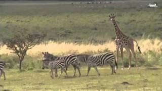 الحيوانات البريه في جبال تنزانيا