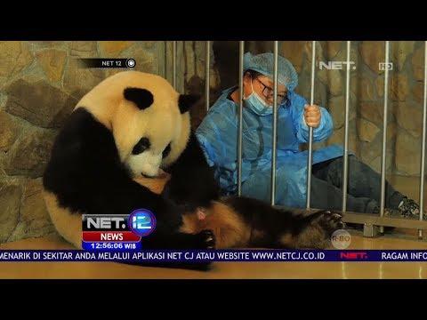 Perjuangan Induk Panda Melahirkan Bayi Kembar yang Menggemaskan - Net 12