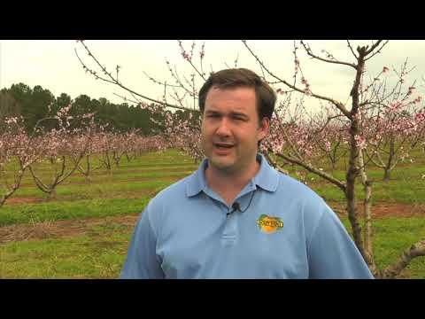 Georgia's Poor Weather Dictates The 2019 Peach Season