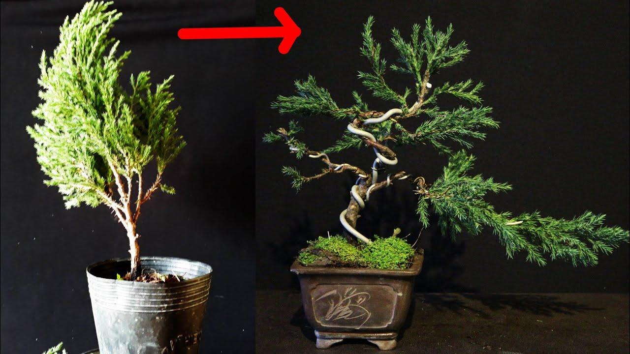 cách uốn cây tùng cối 40k làm bonsai để bàn