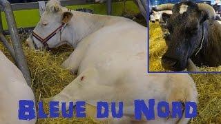 Vache Bleue du Nord - Bos taurus - Linnaeus, 1758 - Salon de l'Agriculture 2015 - 03/2015