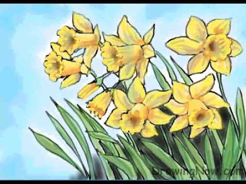 How To Draw Daffodils Youtube