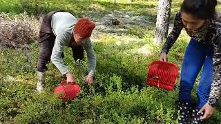 Финляндия сбор черники, мастер клас от б.Оли