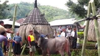 #adat #bajawa #Bejo Pesta Adat, Potong Kerbau & Babi, 21 6 2013