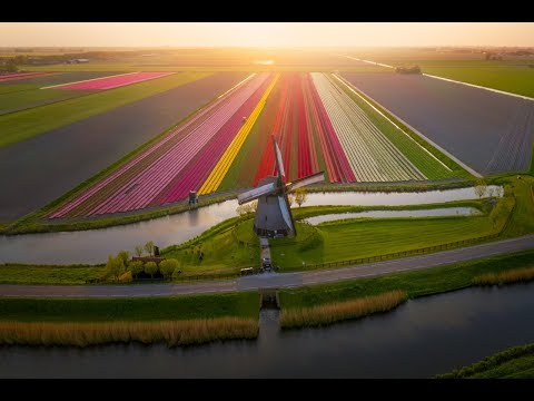 Tulips in The Netherlands 4k