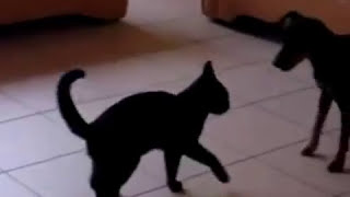 Dog Vs Cat Miniature Pinscher Zwergpinscher