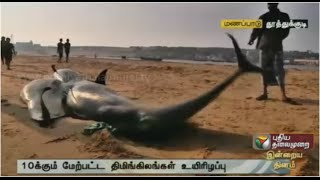 How can the stranded whales along Thiruchendur coast be saved?
