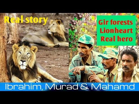 The home of asiatic lions in gir forest and Incredibly braveheart real hero is lion trackers