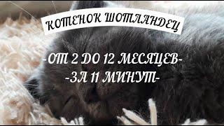 Шотландский Вислоухий Котенок от 2 до 12 месяцев за 11 минут