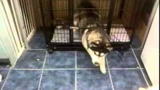 Baby The Escape Artist Siberian Husky
