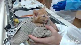 Ferocious feral kittens get their first bath!  TinyKittens.com thumbnail