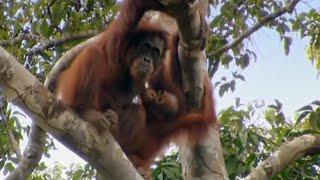 Free Again - Orangutan Diary - BBC