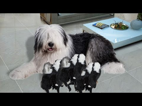 Old English Sheepdogs giving birth to cute puppies