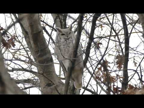Sub Arctic Great Horned Owl