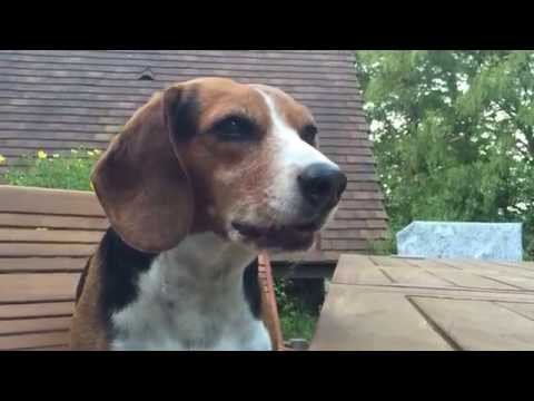 a dog, beagle, tries to steal food on the table!
