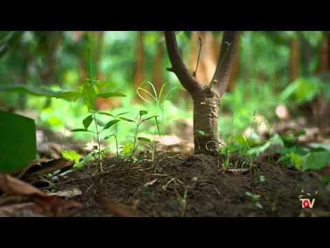 Valrhona - Unique Gran Blanco Cacao Tree Irrigation style