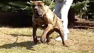 Dogo canario on guard