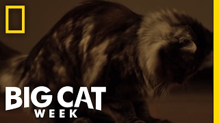 Cute Little Rat Killers | Big Cat Week