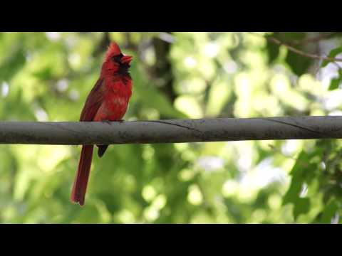 Northern Cardinal song (1080 HD)