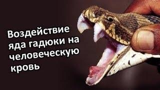 Как яд змеи действует на кровь! - YouTube
