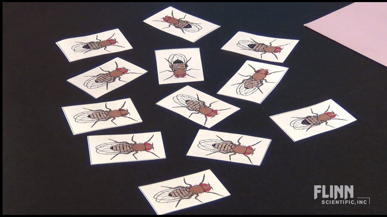 fruit fly genetics simulation fruit fly genetics simulation