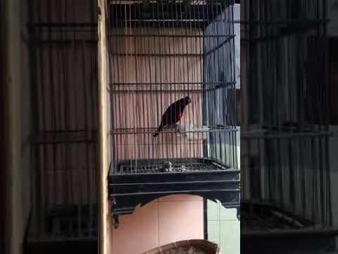Burung kepodang dada merah unik dan langka