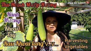 🇨🇦 THU HOẠCH MƯỚP, RAU KHOAI LANG, HÀNH TÍM.v.v..// HARVESTING VEGETABLES FROM My Garden.