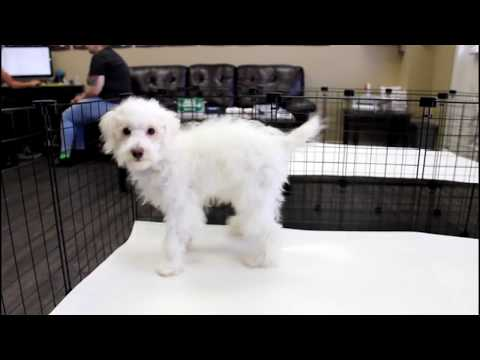 Bently   Toy Poodle Puppy in Los Angeles