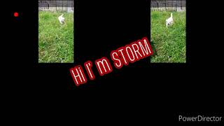 japanese spitz and aspin breed's = so cute ☺