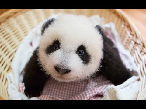 Cute Funniest Panda Videos Compilation 2017 || NEW HD
