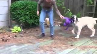 Mastiff puppy plays with Kong Mega Wubba