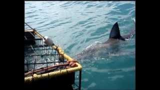Immersione in gabbia con lo squalo bianco
